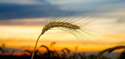 ГМО - семена (GM, генетически модифицированные)